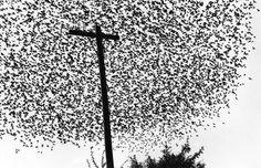 Pájaros En El Poste by Graciela Iturbide on Curiator - http://crtr.co/ejr.p