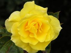 Friesia, a gorgeous yellow floribunda with a wonderful scent.