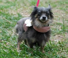 BibbsBreed: PomeranianGender: Female, spayedDOB: 6-8-2011Weight:    4 poundsMicrochippedAdoption Fee:  $225Bibbs came from a puppy mill where she was bred every time she went into heat- every six months.  Her puppies were sold and she was left in a...