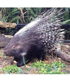 The Mesker Park Zoos newest resident, Ndulu the African crested porcupine, chills out in his enclosure.