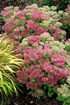 Hot Stuff Sedum - Monrovia - Hot Stuff Sedum. Exceptionally bright pink flowers on sturdy stems that never flop! Forms a tight, neat mound. Heat tolerant, carefree color for borders or mixed containers. Blooms are adored by butterflies. Unclipped seed heads provide cool-season interest and food for birds. Herbaceous.