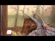 ¿Por qué un pulpo no se queda pegado y enredado con sus propios tentáculos? Las ventosas de los tentáculos de un pulpo se adhieren a casi c...