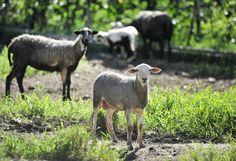 Exitoso ensayo de trasplante de útero de oveja en Argentina -...