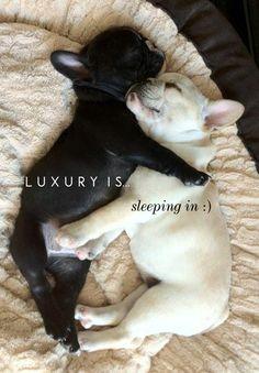 French bulldogs   Luxury is... sleeping in.