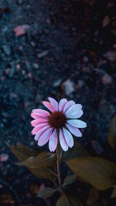 Osteospermum, flowering, petals, blur wallpaper faqen time is part of Sunflower wallpaper backgrounds Screenshot - Flor Iphone Wallpaper, Wallpaper Pastel, Sunflower Wallpaper, Summer Wallpaper, Cute Wallpaper Backgrounds, Aesthetic Iphone Wallpaper, Galaxy Wallpaper, Cellphone Wallpaper, Nature Wallpaper