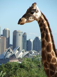 """Giraffe & Sydney Opera House: """"Yeah, it's not a bad view from here I guess"""" by Flickr user David MK"""