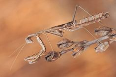 Encuentran en una laguna de Alcázar de San Juan una mantis que podría ser única en el mundo   20minutos.es