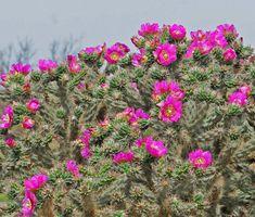 Cholla Tree Cactus #cactus