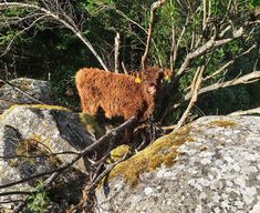 #highlandcattle #renegade_rural #cow #cows #cattle #cowsofinstagram #牛 #be_one_rural #country_features #farmlife #countrylife #Farm…