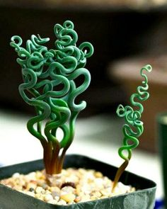 """Trachyandra tortilis is a small bulbous plant from South Africa's """"Namaqualand"""" region. bizzare #plant"""