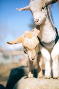 The cutest goats you've ever seen: @goatsofanarchy x Free People