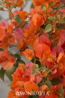 Monrovia's Orange King Bougainvillea details and information. Learn more about Monrovia plants and best practices for best possible plant performance.