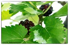 When I was a child it was popular to keep silkworms during the summer months and the food required to keep them alive was the humble mulberry leaf.We didn't have a mulberry tree in our garden because my Mom said they were too messy, so I had to source my leaves elsewhere. Fortunately a friend had one in her garden so I was able to get some of my supply there as well as enjoying the fruit of the tree.I outgrew my interest in silkworms a long time ago but I always longed for that elusive…