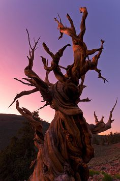 Some of the oldest trees on earth. Bristlecone Pine, Magical Tree, Tree Leaves, Tree Forest, Weird And Wonderful, Autumn Trees, Tree Of Life, Natural Wonders, Nature Photography