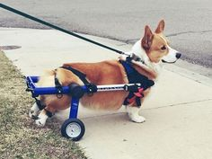 """""""Mama said they was my magic shoes."""" Read the sweet tale of Charlie the Corgi, who regained his mobility with a Walkin' Wheels dog wheelchair!"""