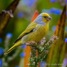 Cape Canary | by andiwolfe
