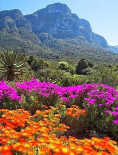 Kirstenbosch National Botanical Garden, Cape Town, South Africa: 9 Picture-Perfect Gardens Around the World via Beautiful Landscapes, Beautiful Gardens, National Botanical Gardens, South Afrika, Cape Town South Africa, Out Of Africa, All Nature, Parcs, Africa Travel