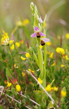 "Bee Orchid ""Ophrys apifera"""