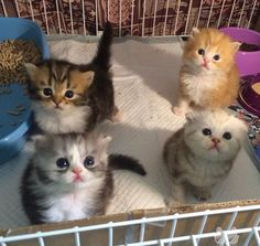 Four cute kittens paying very close attention to what their human is telling them. Looks can be deceptive. Cute Kittens, Kittens And Puppies, Kittens Meowing, Fluffy Kittens, Pretty Cats, Beautiful Cats, Animals Beautiful, Cute Baby Animals, Funny Animals