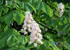 A bad witch's blog: Pagan Eye: Horse Chestnut Tree in Leaf and Bloom