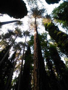 Foresta Umbra (pino nero)