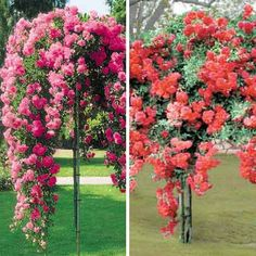 Tree Weeping Rose Collection
