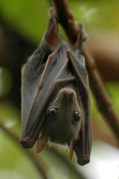 Bats are so cute :3