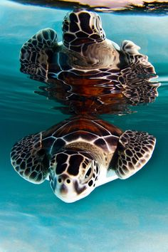 Double Wow!  Turtle Reflection... <3