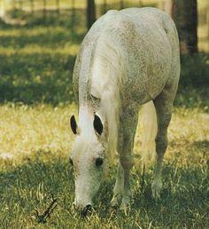 Ansata Ibn Halima // flea-bitten grey horse grazing