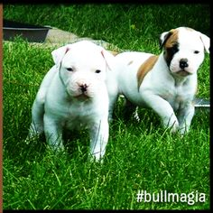 #bullmagia #americanbulldog