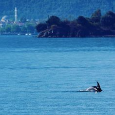 How many will we spot in 2017?  #dolphin #dolpins #dolphinspotting #fethiye #turkey #turquoisecoast #mediterranean #mediterraneansea #wildlife #marinelife #free #instatravel #travelgram #love #traveling #instagood #instapassport #letsgosomewhere #iamtraveler #wanderlust #beautifuldestinations #worldcaptures #travel  #tourism #vacation #bluecruise #bluevoyage