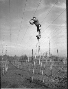 Erecting a hop garden, on stelts.