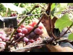 Técnica inédita permite cultivo de uva durante todo o ano