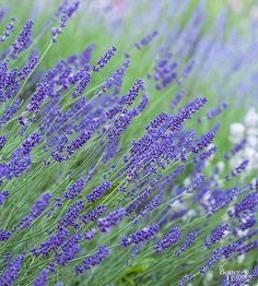 Grow lavender in your garden for a beautiful scent and a pretty mixture of purple blooms. Learn how to plant and care for lavender. Discover what climate and soil it grows best in, how to prune it and how to grow lavender in containers if you're short on yard space.