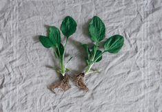 Groblad läker o rika på a-vit Magic Herbs, Preserving Food, Flower Photos, Herbalism, Nature, Plants, Tips, Medicine, Healing