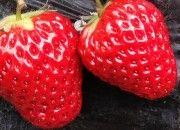 hnojivo na jahody #strawberries #gargening