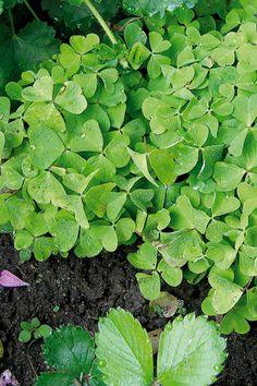 Skovsyre er en skovbundsplante med fine, skriggrønne blade og hvide blomster. Når bladene er friske, kan de spises og har en frisk, syreagtig smag, som passer godt i salater, men også er raffineret i det søde køkken. Kan sås hele året.