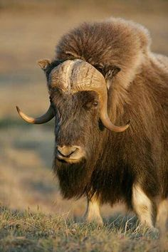 Another musk ox
