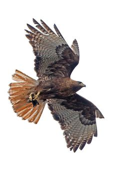 Red-tailed Hawk.....my totem. I should pay more attention to.