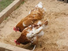 Re-homing ex-battery hens Re-homing ex-battery hens Giving a free range home to…