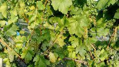 Welschriesling Parsley, Herbs, Fruit, The Fruit, Herb