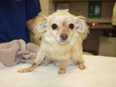 Chihuahua dog for Adoption in Placerville, CA. ADN-409939 on PuppyFinder.com Gender: Female. Age: Adult