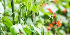 Be full of beans! Growing Beans, Bean Plant, Runner Beans, Dehydrator Recipes, Ornamental Plants, Morning Star, Garden Plants, Vines, Arbors