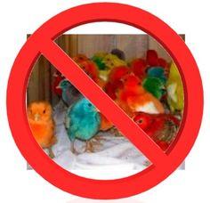 Do Not Dye Chicks