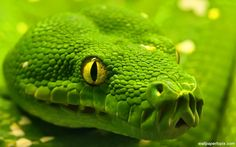 Green Anaconda on Framed Prints Canvas Wall Art Pictures Home Decoration Nature Landscape Photos 18 Green Anaconda, Anaconda Snake, Snake Wallpaper, Animal Wallpaper, Hd Wallpaper, Wallpaper Gallery, Green Wallpaper, Beaux Serpents, Snake Tattoo
