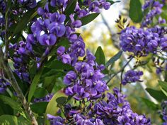 hardenbergia comptoniana - to be planted as climber on side fence. quick growing