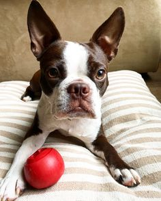 Chocolate Boston Terrier ❤️