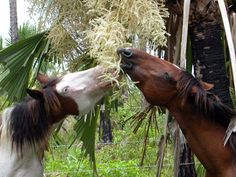 Abaco Barb Horse - Google Search