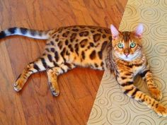 Bengal cat - Bengals result from crossing a domestic feline with an Asian leopard cat