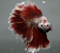 live Tropical Fish-red gold rosetail   dragon halfmoon betta  F2